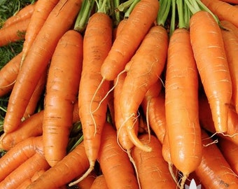Little Finger Carrot Heirloom Seeds - Non-GMO, Open Pollinated, Untreated