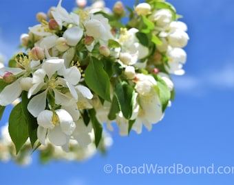 Delicate Spring Bloom.  Photograph.  Sweet white flowers with deep blue sky. Palisades, Colorado. Digital Download