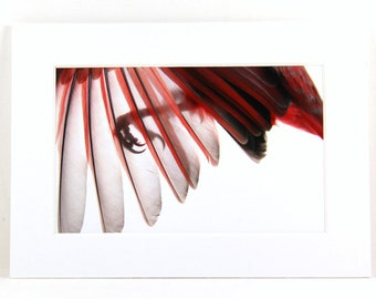 Red Cardinal Wing, Winter Decor, Ready to Frame,Whiteside Hollow Fine Art Photo, White Red Decor, Red Winter Bird, Cardinal Decoration