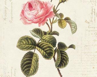 Vintage Botanical Flower Rose on French Ephemera Print 8x10 P43