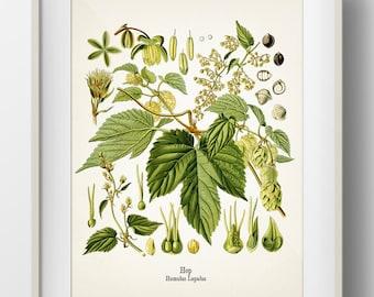 Hops - Humulus lupulus - Hop - KO-33 - Fine art print of a vintage botanical natural history antique illustration