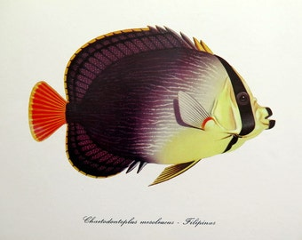 Vintage Red Sea Butterflyfish print, antique FISH color lithograph, 1975 Chaetodontoplus mesoleucus, sea life color engraving, marine animal