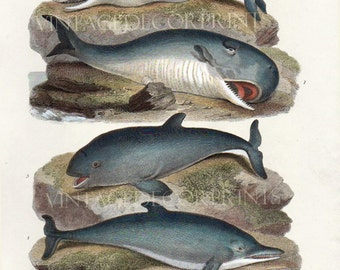 Print of Whales. Original Antique 1812 Print of Dolphins and Whales From Rees Natural History. Handcoloured in Watercolour, Coastal Home Art