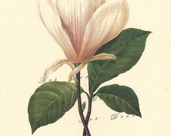 botanical print by Pierre Redoute, White Magnolia, printable digital image no. 1539