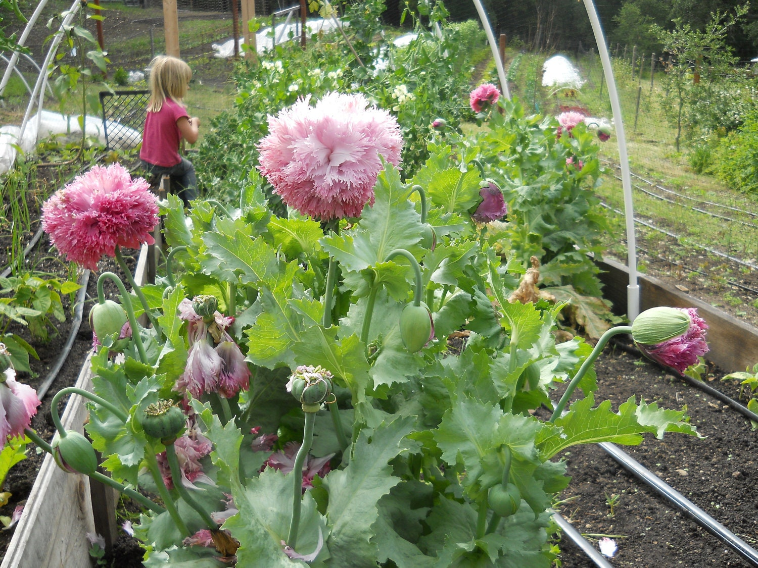 Pink Cloud Poppy Flower Seeds Packet Oriental Poppy And
