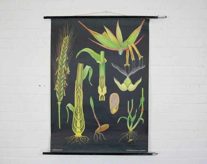 Botanical Wall Chart Grasses By Jung Koch Quentell