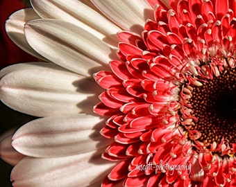 Coral Gerbera Daisy  Floral Photograph  Nature Inspired Art  Home Decor
