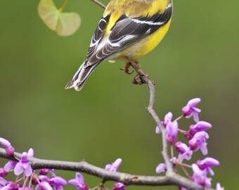 American Goldfinch (Art Prints available in multiple sizes)
