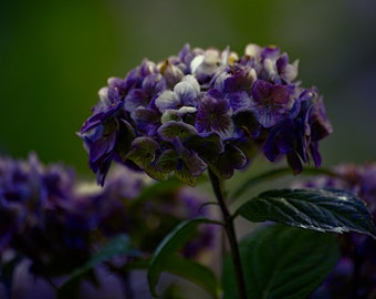 Purple Hydrangea Fine Art Photography, giclee print wall decor, floral home decor