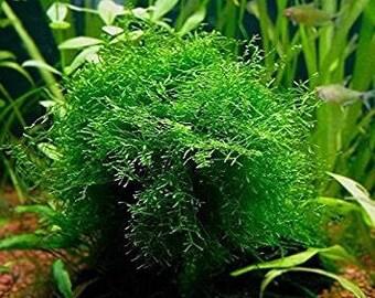 Java Moss - Easy Live Fresh Water Aquarium Plants