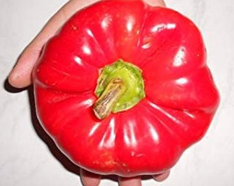 Tomatenpaprika Giant 10 Samen /Seeds    ,,Giant Hungarian Sweet Pepper,,   350-450 gm Früchte/Pods