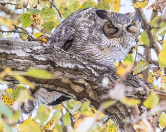 Great Horned Owl - Preening