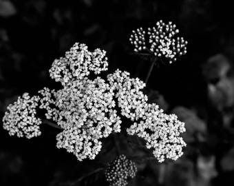 White Flowers Photograph in Black and White, Bucks County, Pennsylvania, Office decor, Floral Photography, Home Decor, Wall Art, Print