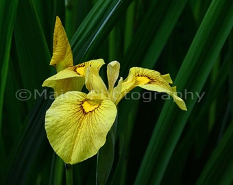 Iris Rust Yellow Green Nature Cottage Decor, Garden Photography, Fine Art Photography, matted & signed 8 x 10 Original Photograph