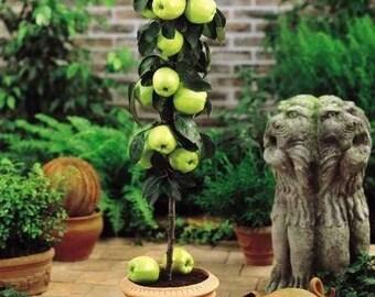 Miniature Granny Smith Apple Tree