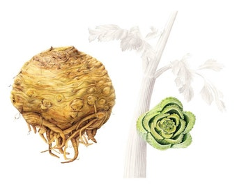 Botanical Art Celeriac and Celery - Apium rapaceum and dulce, Giclée Print