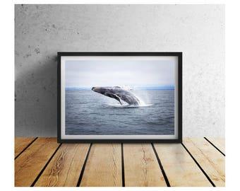 Monterey Humpback Breaching