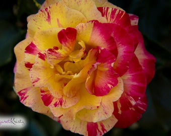 Yellow and Red Rose - dual color roses flower photography