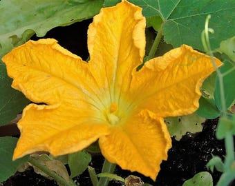 Bloem van Aubergine - Eggplant Flower