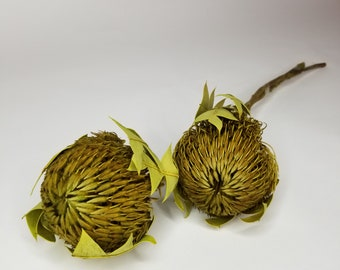 Banksia Baxter preserved/Dried Flower, home decoration