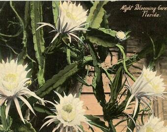 Night Blooming Gereus Florida Vintage Botanical Postcard (unused)