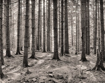 Hemlock forest, 8x10 fine art black & white photograph, nature