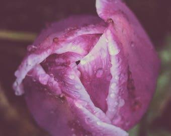 Raindrops on a Tulip