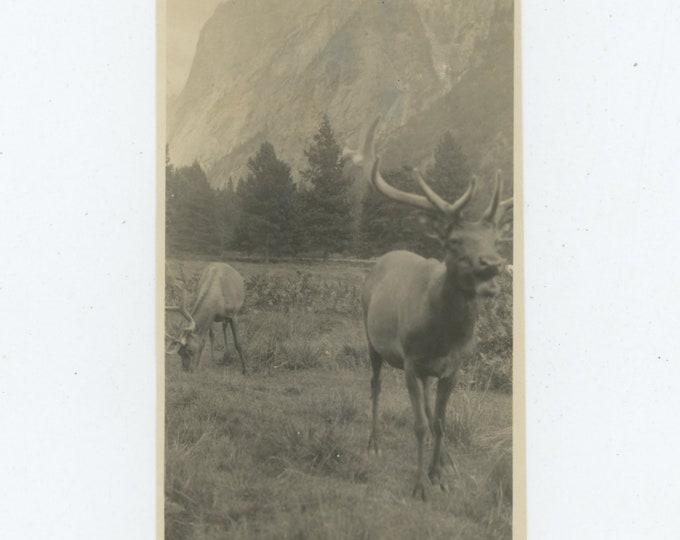 Elk, Yosemite, 1926: Vintage Snapshot Photo [86689]