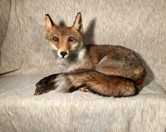 Beautiful RED FOX taxidermy in natural pose. Renard roux taxidermie naturalisé