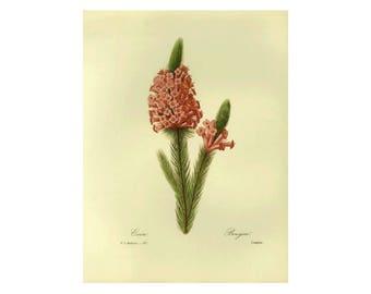 Heather Print Botanical Book Plate( Clearance Ivory Background)