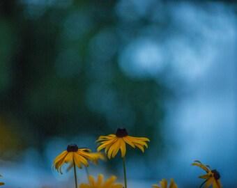 Botanical Photography/ Fine Art/ Minimal Flower/ Home Decor/ Black Eyed Susan