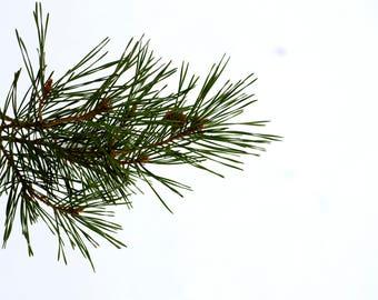 Photograph Print - Pine Tree Branch - Snow - Winter - Color - Ohio - Trees - Photography - Art