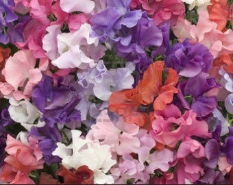 Heirloom Sweet Pea Flower Seed Garden Organic Royal Family Mix Container Friendly
