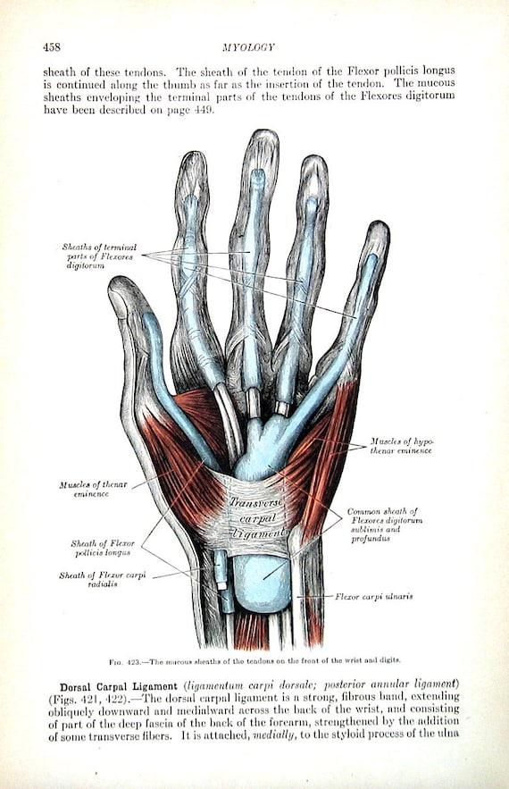 Die menschliche Hand sehnen von Handgelenk und den Fingern