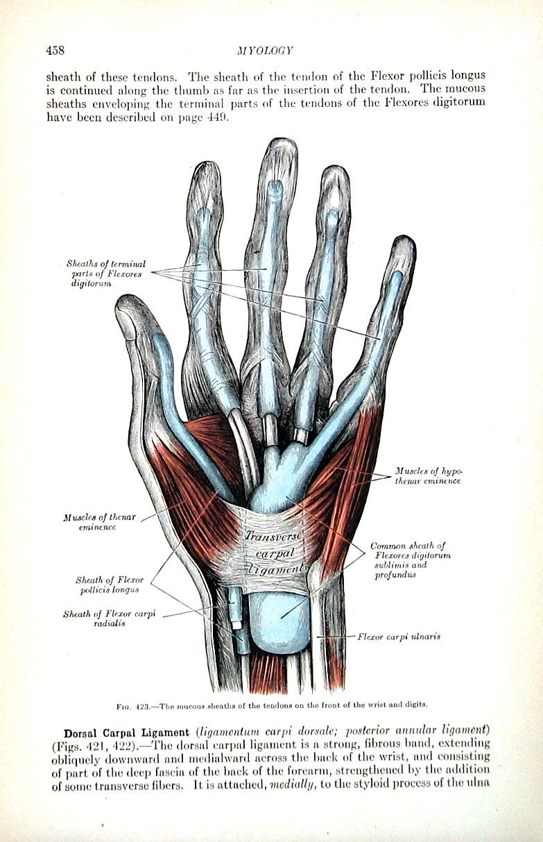 Opposition in anatomy