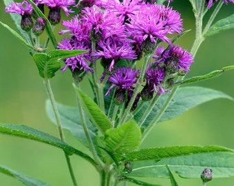 Ironweed 'Vernonia missourica' - 100 Seeds (heirloom)