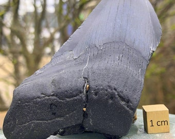 Carcharodon Megalodon Shark Tooth Fossil - found in USA - Miocene Period - FST062