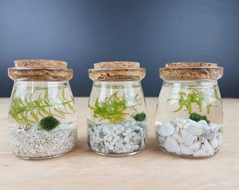Nano Marimo Moss Ball and Aqua Plant Terrarium White Series for Graduation Gift, Party Favors, Office Desk Accessories, Memorial Day Gift