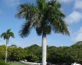 Cuban Royal Palm   Roystonea regia   100 Seeds