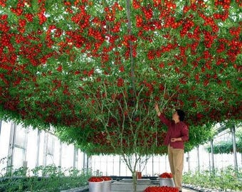 Heirloom Giant Tomato Tree 100 Seeds healthy delicious nutritious edible fruits