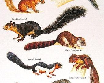 Squirrels Vintage 1984 Animals Book Plate