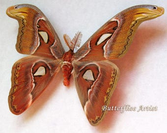Giant Snakehead Attacus Atlas Real Moth Entomology Collectible Framed In Shadowbox
