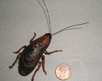 Roach Magnet