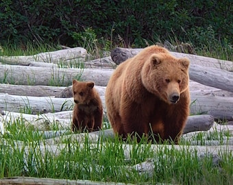 Canadian Brown Bear and Cub in Prints, Cards, Canvas and Thin Wrap Prints