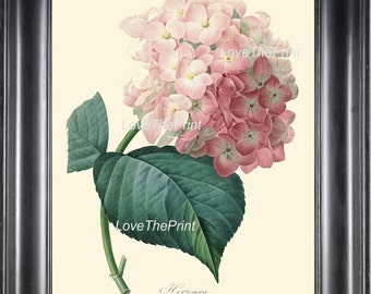 BOTANICAL PRINT Redoute  Art Print 289 Beautiful Large Pink Hydrangea Antique Flower Wall Home Decoration Spring Garden Plant to Frame