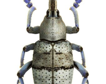 Supplies for your artworks - dried insects - :  Lot of 5 beetles Eupholus amalulugrey form, weevil  UNMOUNTED Aa- quality