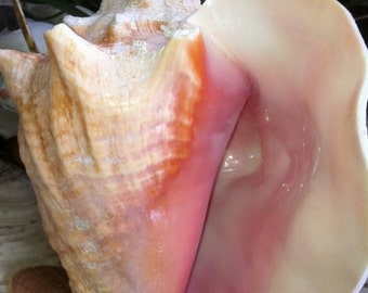 """Wholesale Bahama Conch, Pink Conch, Conch Seashells, Bahama Conch 7""""-8"""", Large Pink Conch, Pink Conch Seashell, Queen Conch"""