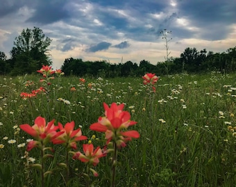 Oklahoma Indian Paintbrush