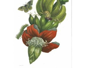 Banana tree flower with Io moth - Illustration by Maria Sibylla Merian - entomology - insect illustration - Vintage botanical print