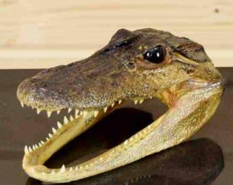 "6"" Well Preserved Alligator Head Taxidermy - SW4351"